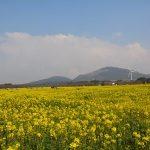 Jeju Island Rape Flowers