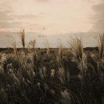Silver Grass Jeju Landscape Nature