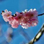 Spring Cherry Higankirsche